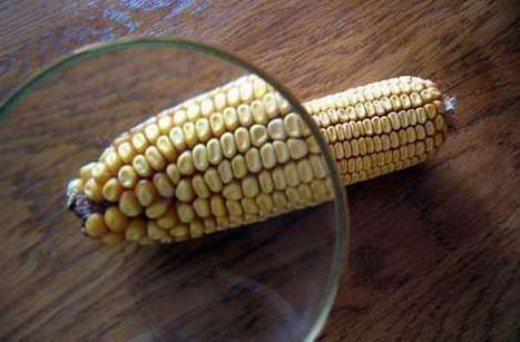 Detectan transgénicos en 10 comunidades - NewsOaxaca - NewsOaxaca | Stop Monsanto | Scoop.it