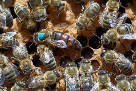 L'Observatoire français d'apidologie sélectionne des reines plus productives | EntomoScience | Scoop.it