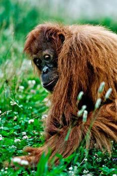 L'orang-outan construit son lit avec la rigueur d'un ingénieur   Aux origines   Scoop.it
