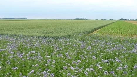 Abeilles et grandes cultures - De mai à juillet, les mauvaises herbes fournissent plus de 40% du pollen | Nous avons besoin des abeilles | Scoop.it