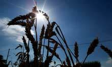 Bread prices set to rise after bad weather hits UK wheat crop | KHS Business and Economics | Scoop.it
