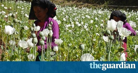 The opium bulbs of Myanmar: drug crop or lifeline for poor farmers? | Alcohol & other drug issues in the media | Scoop.it