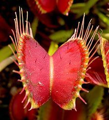 Theft of protected Venus flytraps — money for poachers, but costly to ec