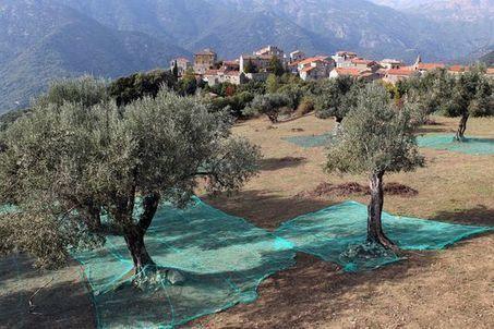 L'Europe intensifie sa lutte contre «Xylella fastidiosia», la bactérie tueuse d'oliviers | Environnement et développement durable, mode de vie soutenable | Scoop.it