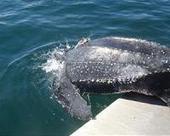 Tracking endangered leatherback sea turtles by satellite, key habitats identified | Marine Remote Sensing | Scoop.it