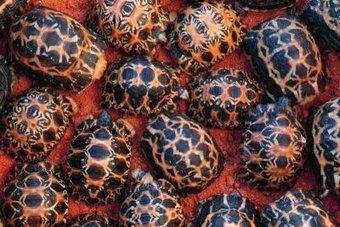 Près de 3 000 tortues relâchées à Madagascar  | Biodiversité & Relations Homme - Nature - Environnement : Un Scoop.it du Muséum de Toulouse | Scoop.it
