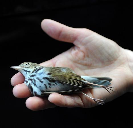 Birding: Songbirds face many deadly threats - Minneapolis Star Tribune | Save the Songbirds | Scoop.it
