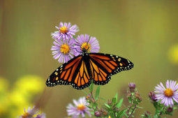 Wing design proves key factor in determining migration success of Monarch butterflies | Nature enviroment and life. | Scoop.it