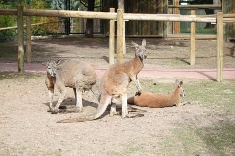 Red kangaroos, New Madrid attractions in Faunia | Madrid Trending Topics and Issues | Scoop.it