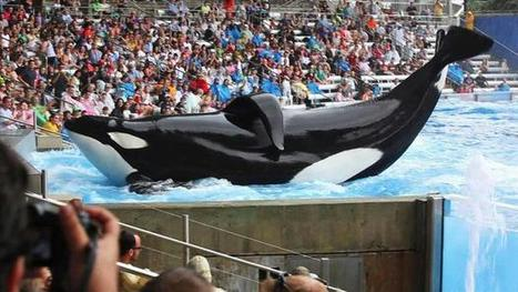 SeaWorld put on notice by orca scientist (Includes interview) | Wildlife Conservation and Biodiversity | Scoop.it