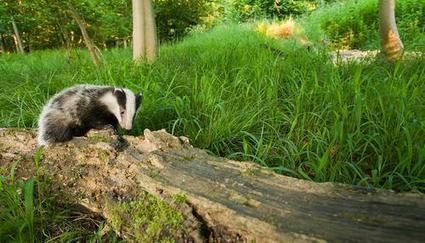 Badger culling to continue | The Wildlife Trusts | Sad and Bad news - Badger culling to continue | Scoop.it