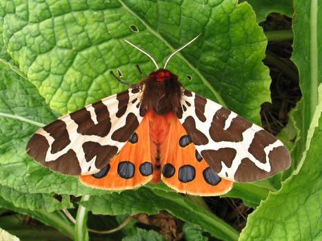 ROTHAMSTED MENTION: British moths have crashed in numbers over past 40 years as part of widespread decline | BIOSCIENCE NEWS | Scoop.it
