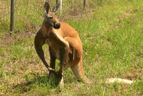 After tranquilizer, Taser, loose kangaroo nabbed in Pasco | Bay News 9 | BloodandButter | Scoop.it
