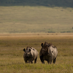 Rhino Emergency — Passage To Africa | safarious | Scoop.it