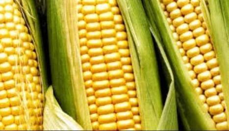 Desarrollan bacteria que estimula desarrollo del maiz y el sorgo | Maíz | Scoop.it