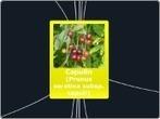 Capulín - Mind Map | Capulín  (Prunus serotina esp.capuli) | Scoop.it