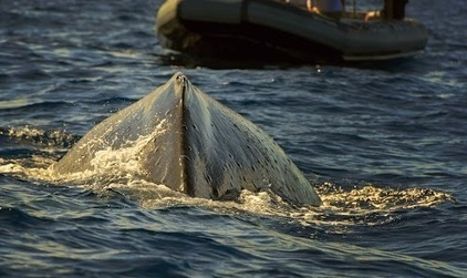 Barki Mustapha - Google+ - Humpback Headin' Your Way On the advice of +David Freeman,… | Barkinet | Scoop.it