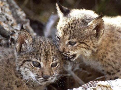 Nacen cuatro crías de lince ibérico en un centro de cría en cautividad de Doñana   Medio ambiente   Scoop.it