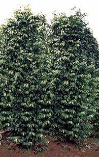 Pimienta, Piper nigrum, Pimienta negra, Pimienta blanca, Pimienta verde, Pimienta roja, Piper guineense, Pimienta ashanti, Piper clusii, Piper cubeba, Cubeb, Pimienta de Java, Piper longum, Pimient... | PIMIENTA (Piper nigrum) | Scoop.it