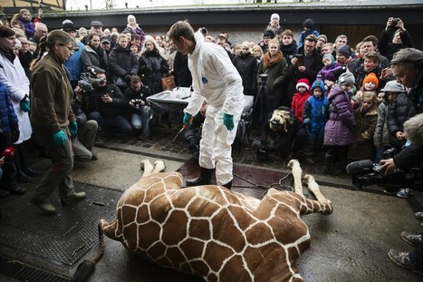 What the Copenhagen Zoo's Euthanized Giraffe Tells Us About Culture and Conservation   Marius   Scoop.it