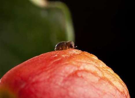 How coffee berry borers survive on caffeine | Erba Volant - Applied Plant Science | Scoop.it