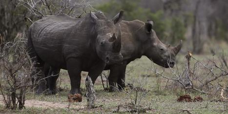 Legal trade in rhinoceros horns could save the species | Endangered Species News | Scoop.it