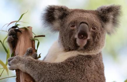 Réchauffement : le koala australien pourrait disparaître | The Blog's Revue by OlivierSC | Scoop.it