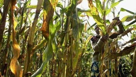 Kenya: Experts on track to create maize varieties to tame virus | MAIZE | Scoop.it