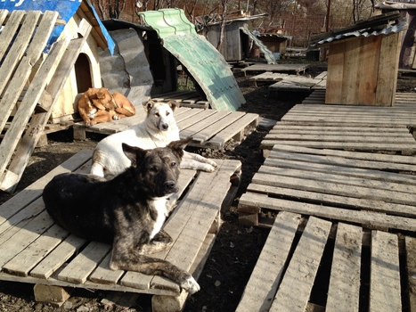 Sochi's Stray Dogs Melt Hearts, And Put Officials On Defensive | Animal Cruelty | Scoop.it