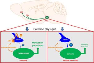 Pourquoi les bonnes résolutions en matière d'activité physique ne tiennent pas toujours… - Communiqués et dossiers de presse - CNRS | Facteurs comportementaux et cancer | Scoop.it