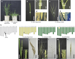 OsLG1 regulates a closed panicle trait in domesticated rice | Rice origins and cultural history | Scoop.it