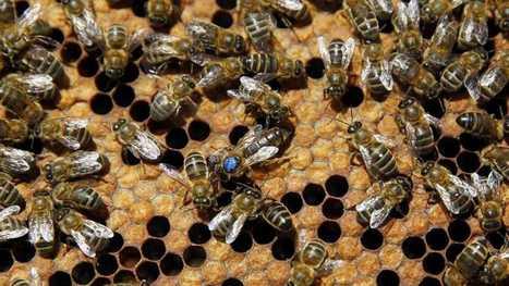 Greenpeace denuncia la muerte de cientos de miles de abejas por plaguicidas | Biblioteca CCBA | Scoop.it