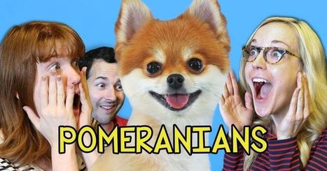 Famous Pomeranians are completely unamused by YouTube | Caring About Pets | Scoop.it
