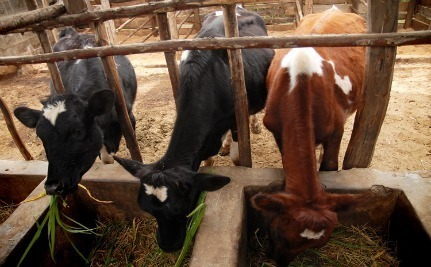 One Cow Can Change an Entire Community | Food issues | Scoop.it