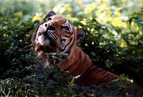 3 tigers found dead in a week in Corbett Reserve   Lauri's Environment Scope   Scoop.it