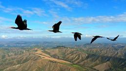 Explican por qué las aves vuelan en V | Avistamiento de aves en Colombia | Scoop.it