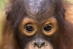 Smuggled orangutans prepared for repatriation to Indonesia – in pictures | GarryRogers NatCon News | Scoop.it