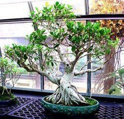 Bonsái Ficus. Tipos de bonsáis | Los bonsai | Scoop.it