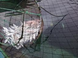 #CoastalStreams spread #virus between #farmedfish ~ #pancreasDisease | Rescue our Ocean's & it's species from Man's Pollution! | Scoop.it