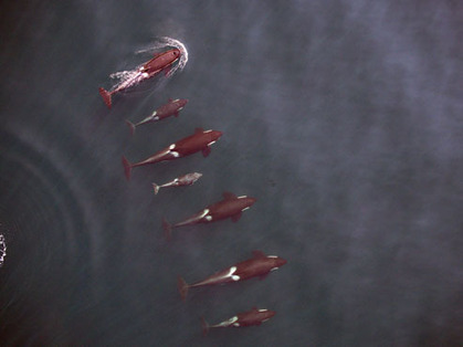 Unmanned aerial vehicle offers a new view of killer whales   Marine Technology   Scoop.it