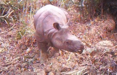 Invasive Palm Threatens Java Rhino To Extinction | GarryRogers Biosphere News | Scoop.it