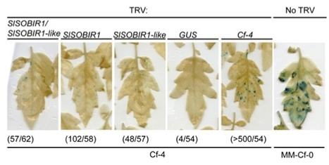 PNAS: Receptor-like kinase SOBIR1/EVR interacts with receptor-like proteins in plant immunity against fungal infection (2013) | PPM | Scoop.it