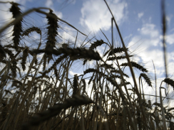 "Doctor: Modern wheat a ""perfect, chronic poison"" 