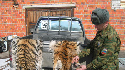 Russia levies rare punishment for poaching tigers | Wildlife Trafficking: Who Does it? Allows it? | Scoop.it