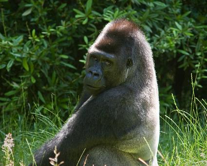 10 life-saving animals: Gorilla | Animals Make Life Better | Scoop.it