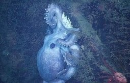 Deep-sea octopus broods eggs for over four years -- longer than any known animal | Our Oceans | Scoop.it