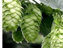 Benefits and Advantages of Hops Flower - Amazing benefits of Hops | Beauty Care | Scoop.it