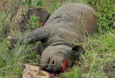 Poachers kill Kenyan rhino in brazen attack | What's Happening to Africa's Rhino? | Scoop.it