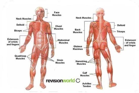 Muscles | gcse-revision, pe-physical-education, anatomy-and-physiology, muscles-0 | Revision World | Health and Physical Education | Scoop.it