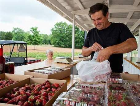 Strawberries reign as pick of the season | North Carolina Agriculture | Scoop.it